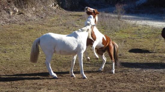 Cavalls jogant